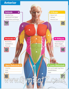 gym exercise poster - muscle groups and exercises (with free, Human Body